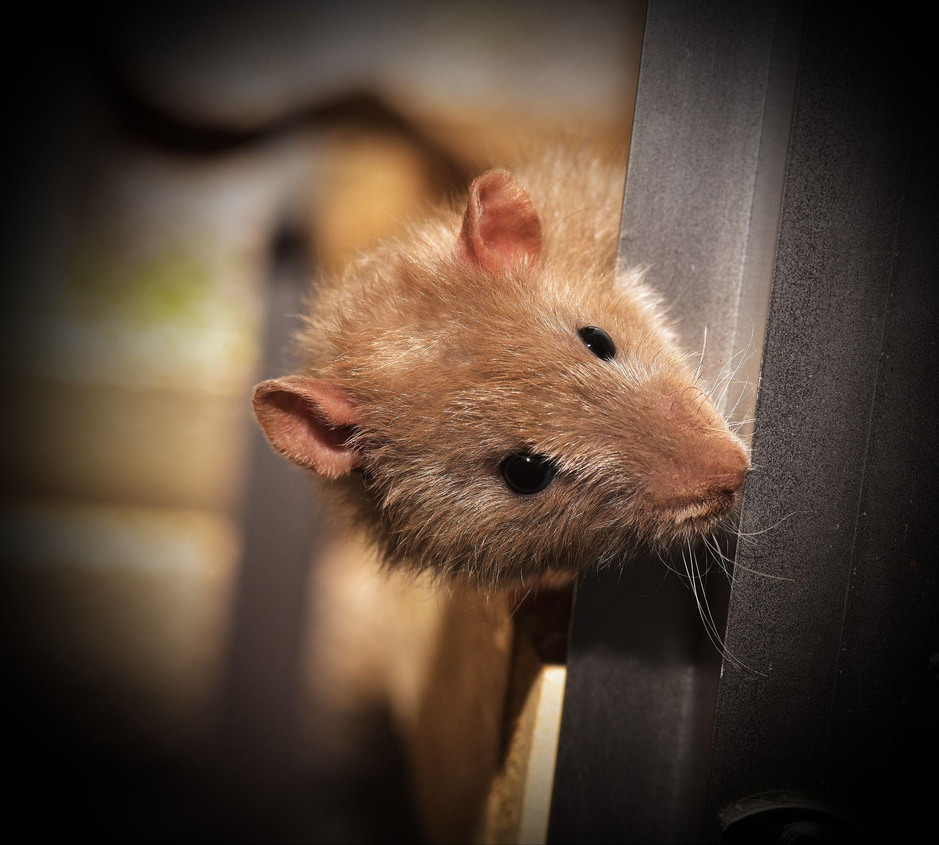 mouse-dark
